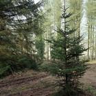 В Парке им. Горького будут раздавать бесплатные елки