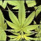 Амстердам, Cannabis Cup