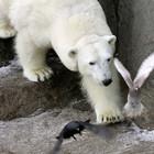 В зоопарке неизвестный расстрелял белого медведя