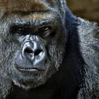 В чучеле гориллы Дарвиновского музея найдены старинные документы