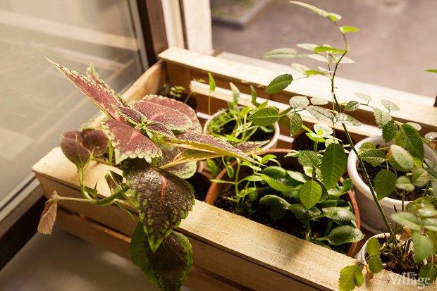 Где посадки: Что горожане выращивают на балконах иподоконниках. Изображение № 21.