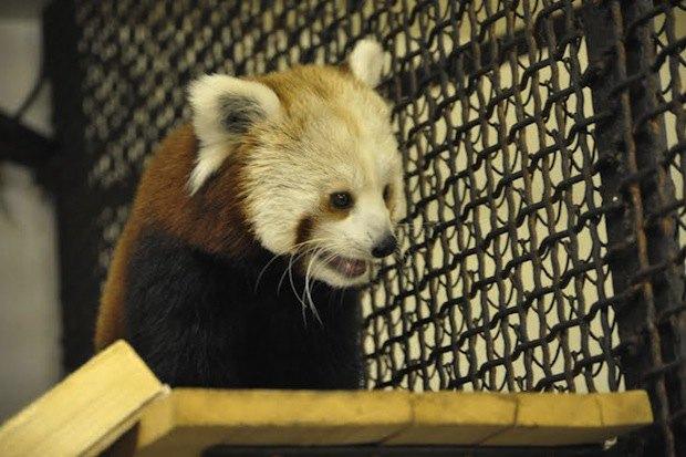 Красная панда вмосковском зоопарке. Изображение № 6.