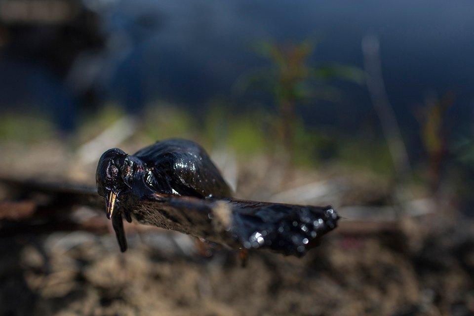 Как леса Коми очищают от нефти. Изображение № 9.