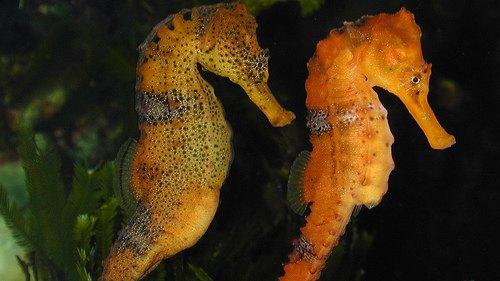 Hippocampus reidi. Изображение № 3.