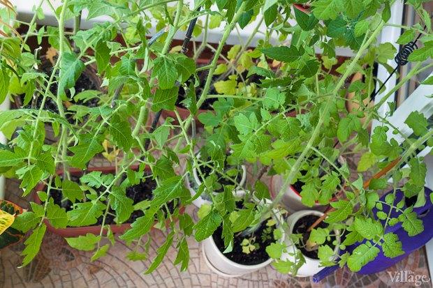 Сделай сад: Что киевляне выращивают у себя на балконах. Зображення № 14.