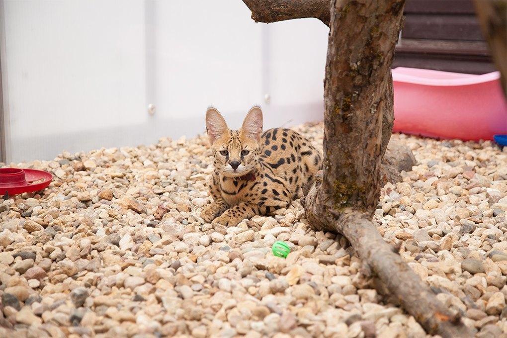 «Мурмулет»: Как заработать на котятах за полмиллиона рублей. Изображение № 10.