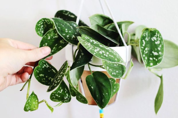 Где покупать комнатные растения икашпо. Изображение № 2.