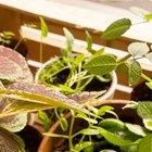 Где посадки: Что горожане выращивают на балконах иподоконниках. Изображение №30.
