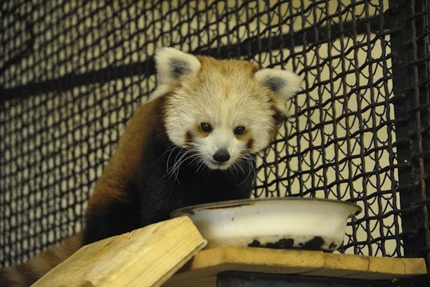 Красная панда вмосковском зоопарке. Изображение № 2.