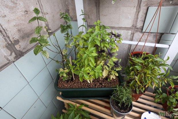 Где посадки: Что горожане выращивают на балконах иподоконниках. Изображение № 7.