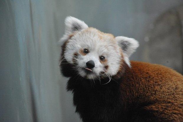 ВМосковском зоопарке теперь можно увидеть красную панду поимени Зейна. Изображение № 7.
