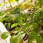 Где посадки: Что горожане выращивают на балконах иподоконниках. Изображение № 29.
