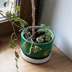 Где посадки: Что горожане выращивают на балконах иподоконниках. Изображение № 78.