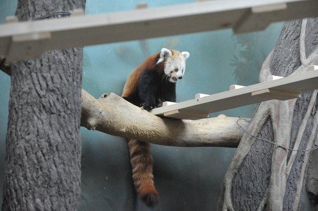 ВМосковском зоопарке теперь можно увидеть красную панду поимени Зейна. Изображение № 3.