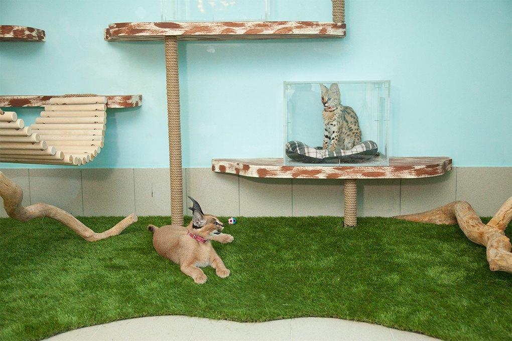 «Мурмулет»: Как заработать на котятах за полмиллиона рублей. Изображение № 4.