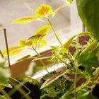 Где посадки: Что горожане выращивают на балконах иподоконниках. Изображение №32.