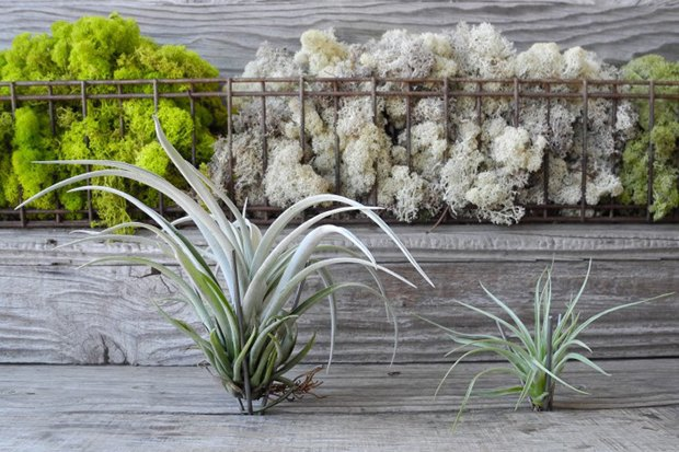 Воздушный цветок: Что делать с растением без корней. Изображение № 9.