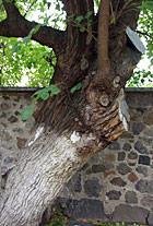Киевские деревья получат статус памятников. Изображение № 3.