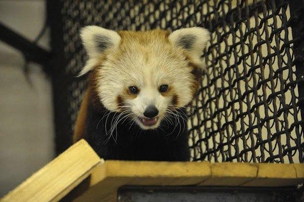 Красная панда вмосковском зоопарке. Изображение № 5.