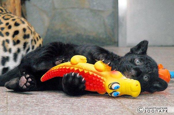 Ленинградский зоопарк собирает игрушки для ягуарят . Изображение № 1.