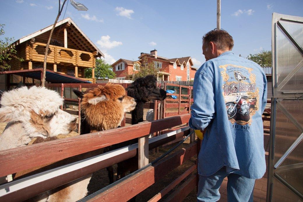 Кудряш наш: Как живут московские альпаки. Изображение № 20.