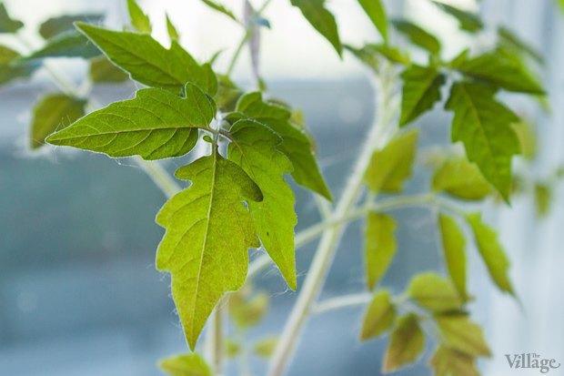 Сделай сад: Что киевляне выращивают у себя на балконах. Зображення № 33.