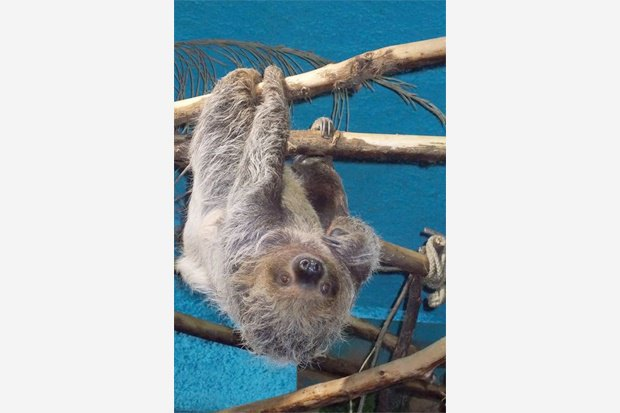 В Московском зоопарке появился двупалый ленивец. Изображение № 1.