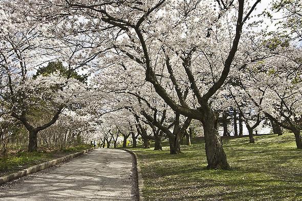 В парке «Киото» появится аллея сакур. Изображение № 1.