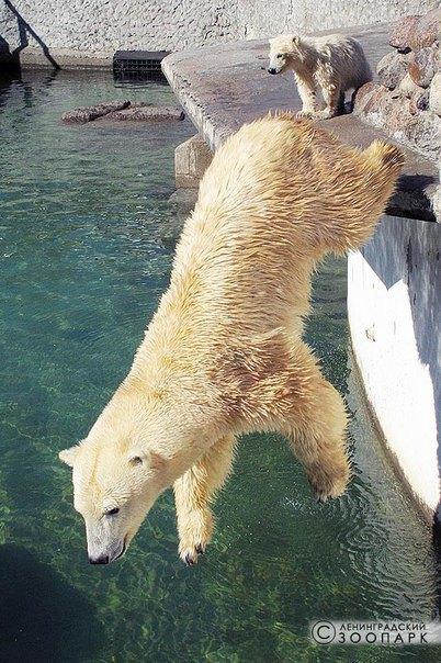 В Ленинградском зоопарке петербуржцам впервые показали белого медвежонка. Изображение № 2.