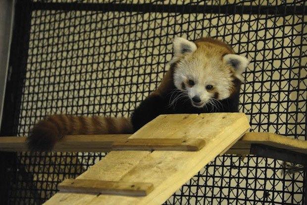 Красная панда вмосковском зоопарке. Изображение № 4.
