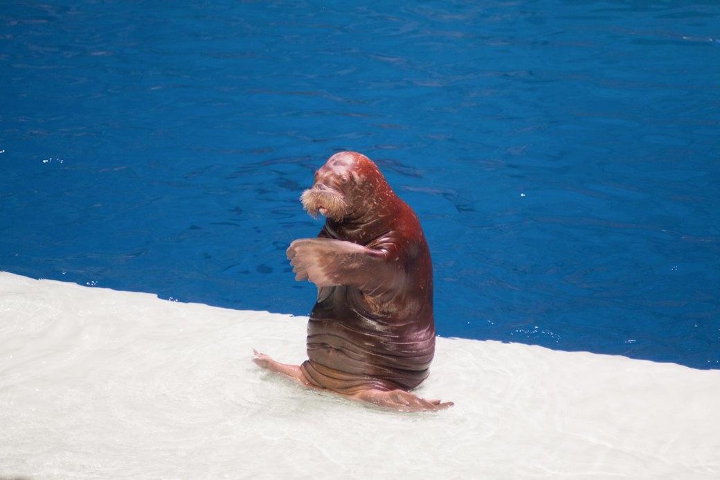 «Главные здесь — косатки, но самые милые — моржи»: На ВДНХ открылся океанариум. Изображение № 15.