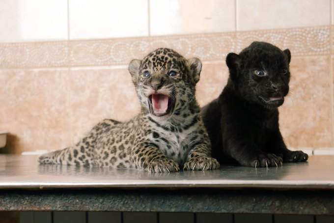 В Ленинградском зоопарке родились детёныши ягуара . Изображение № 1.
