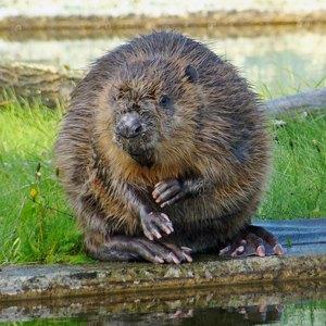 Столичная фауна: Кто живёт в киевских прудах и парках . Изображение № 11.
