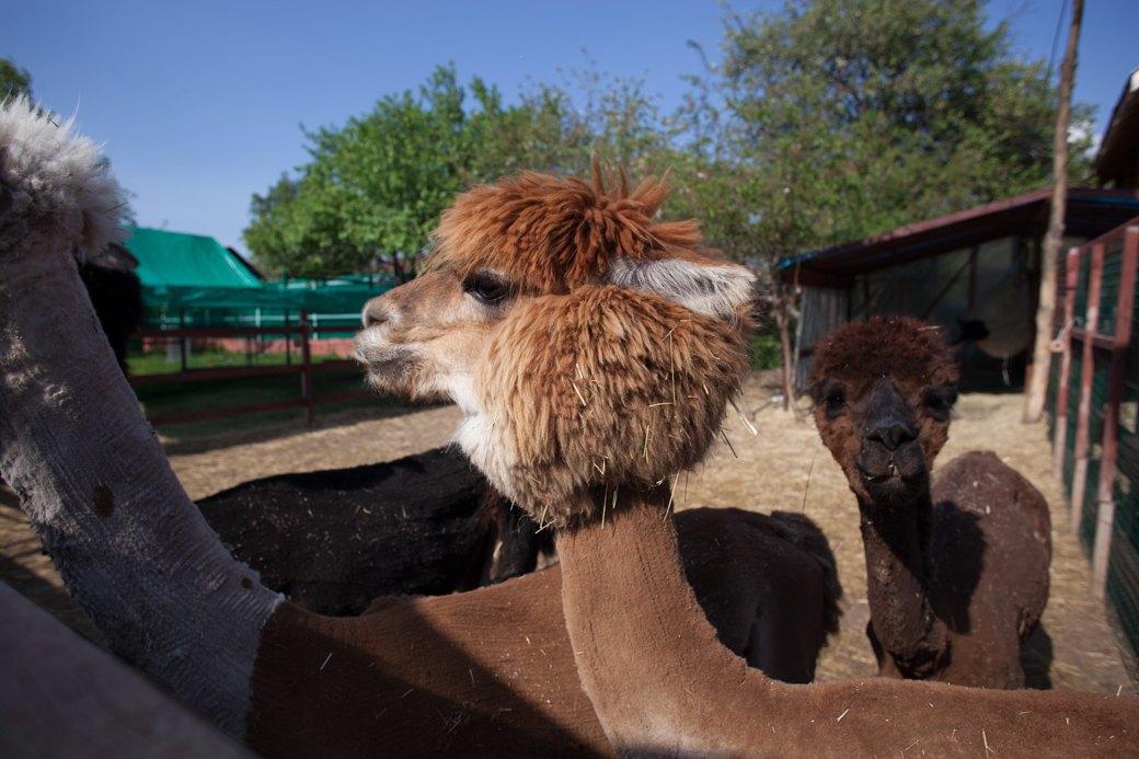 Кудряш наш: Как живут московские альпаки. Изображение № 4.