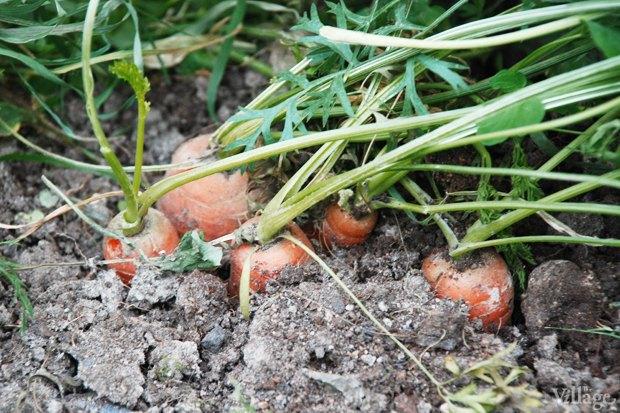 На районе: Как разбить огород и выращивать бесплатные овощи для соседей в Шушарах. Изображение № 4.