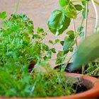 Сделай сад: Что киевляне выращивают у себя на балконах. Зображення № 27.