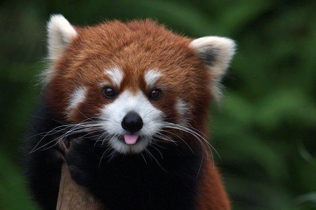 Вмосковском зоопарке впервые появятся фоссы. Изображение № 3.