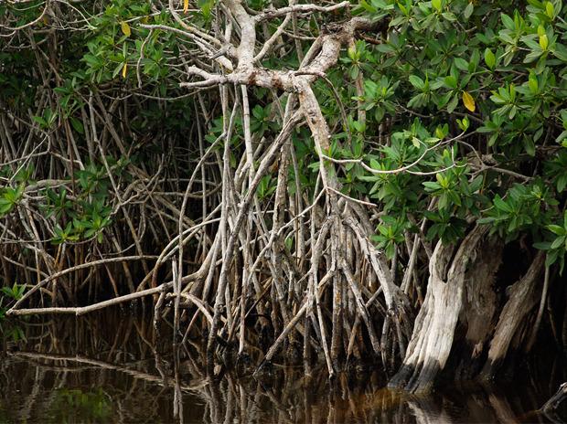 Мангровые заросли в штате Флорида. Изображение № 10.