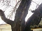 Киевские деревья получат статус памятников. Зображення № 2.