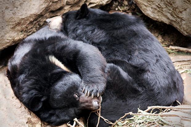 Медведи в Московском зоопарке уснули. Изображение №1.