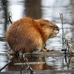 Столичная фауна: Кто живёт в киевских прудах и парках . Изображение № 12.