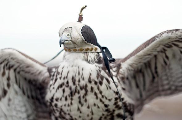 Клобучок — специальный колпак, который птицам надевают на голову во время перевозки, чтобы они чувствовали себя комфортно и не нервничали.. Изображение № 20.