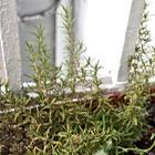Где посадки: Что москвичи выращивают на балконе. Изображение №14.