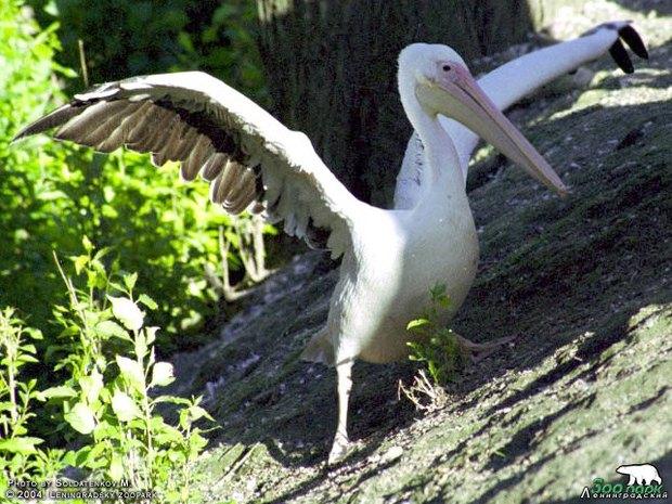 Горожанам предложили выбрать имена для пеликанов из зоопарка. Изображение № 1.