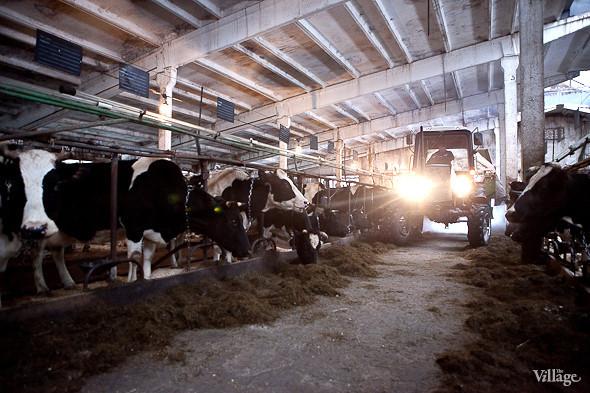 Кормление коров. Изображение № 17.