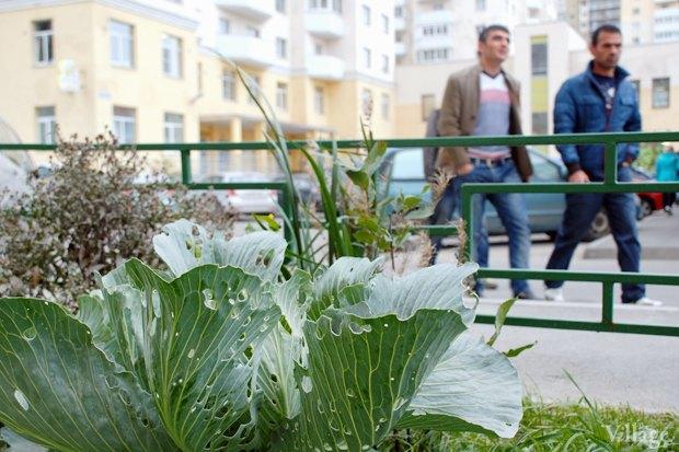 На районе: Как разбить огород и выращивать бесплатные овощи для соседей в Шушарах. Изображение № 13.