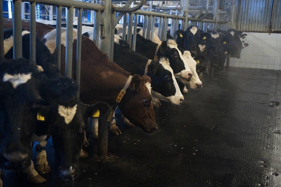 Как делают молочные продукты. Изображение № 3.