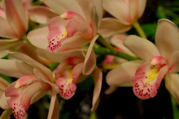 В «Аптекарском огороде» открывается фестиваль орхидей. Изображение №1.