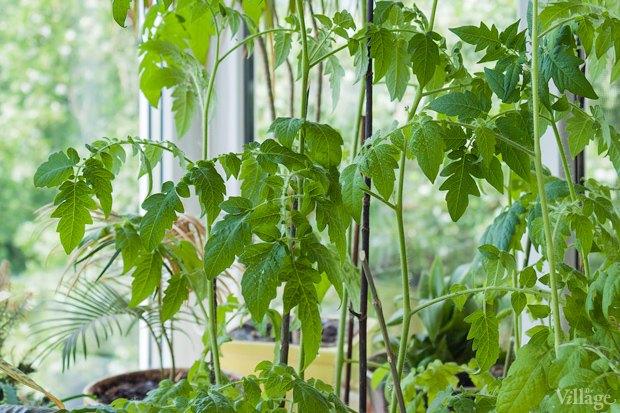 Сделай сад: Что киевляне выращивают у себя на балконах. Зображення № 13.