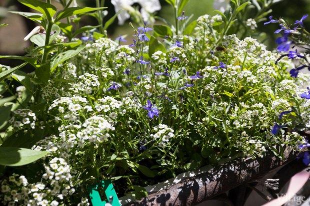 Где посадки: Что горожане выращивают на балконах иподоконниках. Изображение № 41.